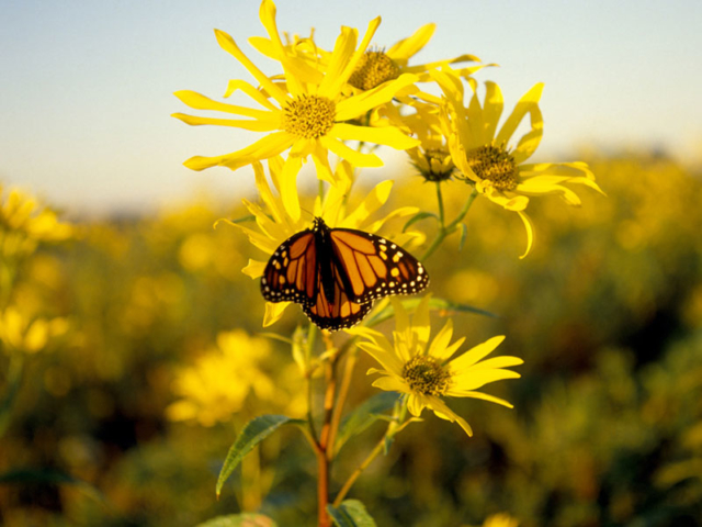 Monarch & Sunflowers