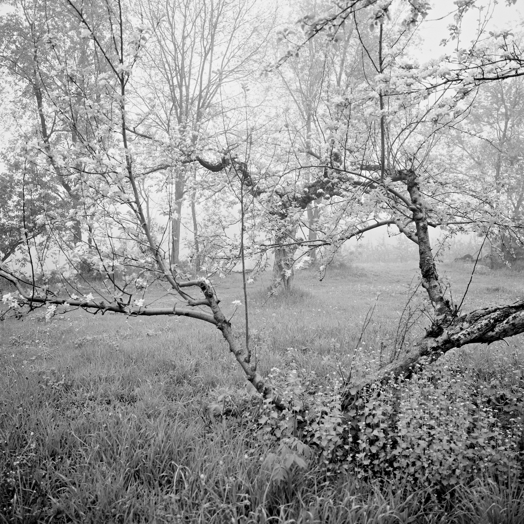 Apple Orchard Wisconsin 2000 -Arthur Lazar